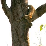 Amazing how they can carry their prey up a tree or during a full speed run