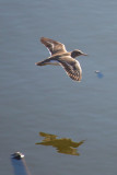 Spotted Sandpiper (flying)