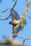 Western Bluebird flying