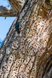 Acorn Woodpecker and granary