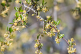 Mountain Mahogany (cercocarpus sp.) blossoms