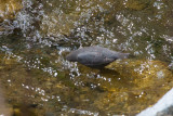 American Dipper dipping head in water