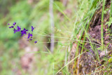 Purple Larkspur (Delphinium sp.)