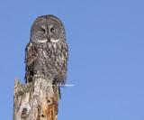 Chouette Lapone - Great Grey Owl (J`en navais pas vue depuis 2006 )