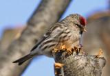Sizerin flammé - Common Redpoll ( Carduelis Flammea )