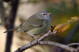 Fall Warbler/ Orange-crowned Warbler