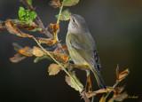 Oct 30 Warbler