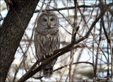 In The Thick Of Things/ Barred Owl