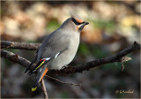 Bohemian Waxwing In November