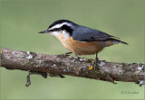 Red Breasted Nuthatch II