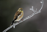 Icy Finch