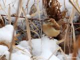 Carolina Wren Winter Habitat