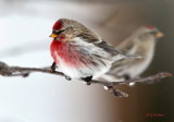 There are Redpolls and there are REDPOLLS