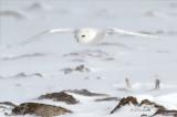 Mature Male Snowy Owl