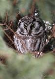 Key Hole / Boreal Owl