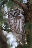 Aurora Boreal Owlis