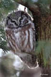 Boreal Owl With Back Light