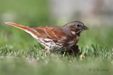 Fox Sparrow At Eye Level