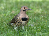 Flicker in the Grass...Hunting for ants