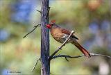 Cardinal along the  Jack Pine Trail