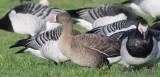 lesser white-fronted goose / dwerggans, Oude Veerseweg