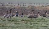 pink-footed goose / kleine rietgans, Veere
