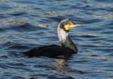 cormorant / aalscholver, Vlissingen