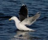 great black-backed gull / grote mantelmeeuw