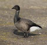 brent goose  / rotgans, Neeltje