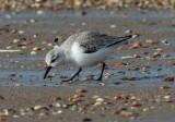 sanderling / drieteenstrandloper, Ouddorp