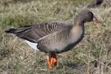 lesser white-fronted goose / dwerggans