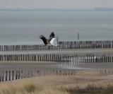 white stork / ooievaar, Breskens