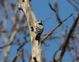 lesser spotted woodpecker / kleine bonte specht, Oostkapelle