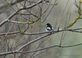 pied flycatcher / bonte vliegenvanger, Westkapelle