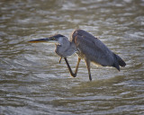 Great Blue Heron IMG_1496.jpg