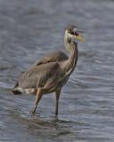 Great Blue Heron. IMG_1589.jpg