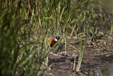 Ring-necked Pheasant IMG_1821.jpg