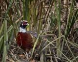 Ring-necked Pheasant IMG_1862.jpg
