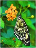 Paper Kite Butterfly - on lantana