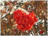 Mountain Ash berries