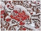 Mountain Ash Snowberries