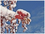 Snow+berries Mountain Ash