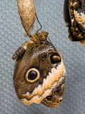 Giant Owl Butterflies