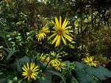 Ah, Sunflower