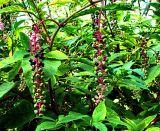 Polkberries Ripening