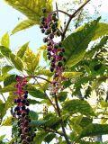 Polk Berries Viewed from Underneat