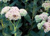 Sedum Nectar Harvest