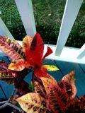 Croton on  Deck