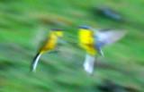 Gele kwikstaart