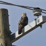 Adult female Rough-legged Hawk, Hwy 45, Obion Co.